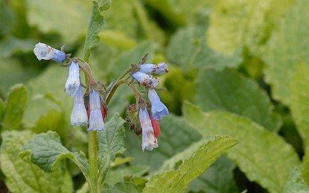 AllgäuStauden Beinwell Symphytum grandiflorum 'Blaue Glocken'