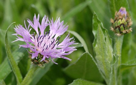 AllgäuStauden Berg-Flockenblume Centaurea montana 'Carnea'