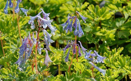 AllgäuStauden Blauer Lerchensporn Corydalis Hybride 'Spinners'