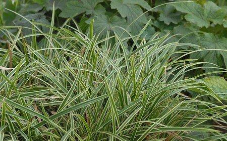 AllgäuStauden Bodendecker-Japan-Segge Carex morrowii ssp. foliosissima 'Icedance'