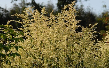 AllgäuStauden Elfenraute Artemisia lactiflora 'Elfenbein'