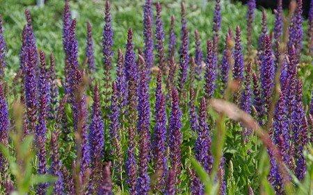 AllgäuStauden Garten-Salbei Salvia nemorosa 'Ostfriesland'