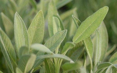 AllgäuStauden Gewürz-Salbei Salvia officinalis