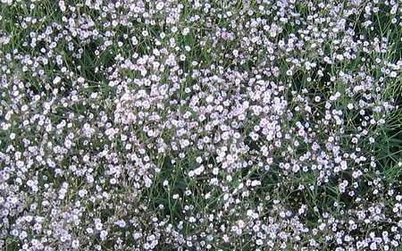AllgäuStauden Halbhohes Schleierkraut Gypsophila Hybride 'Rosenschleier'