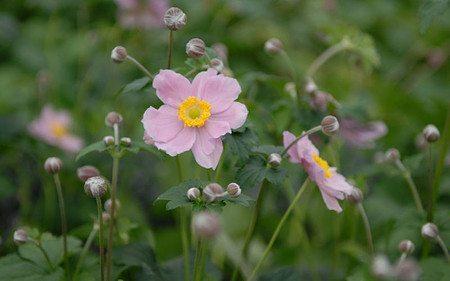 AllgäuStauden Herbst-Anemone Anemone Japonica-Hybride 'Serenade'