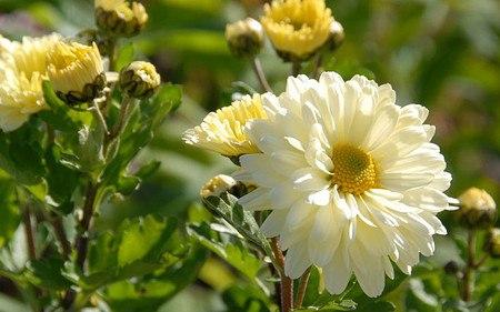 AllgäuStauden Herbst-Chrysantheme Chrysanthemum Indicum-Hybride 'Poesie'