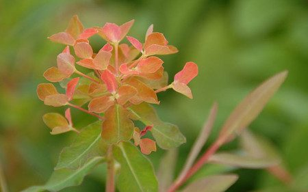 AllgäuStauden Hohe Wolfsmilch Euphorbia fragifera