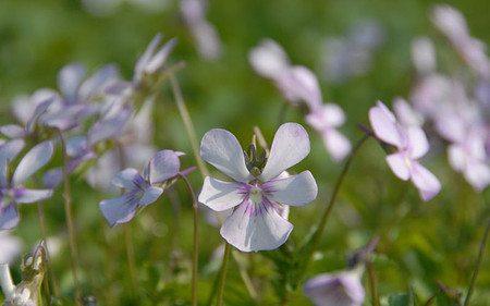 AllgäuStauden Horn-Veilchen Viola cornuta 'Victoria's Blush'