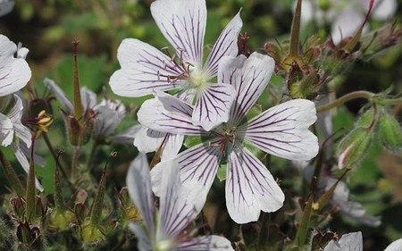 AllgäuStauden Kaukasus-Storchschnabel Geranium renardii