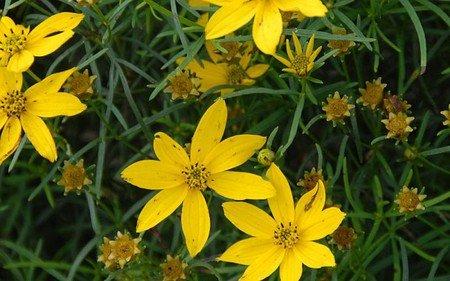 AllgäuStauden Mädchenauge Coreopsis verticillata 'Grandiflora'