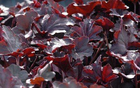 AllgäuStauden Schwarzlaubiges Purpurglöckchen Heuchera Hybride 'Obsidian' ®