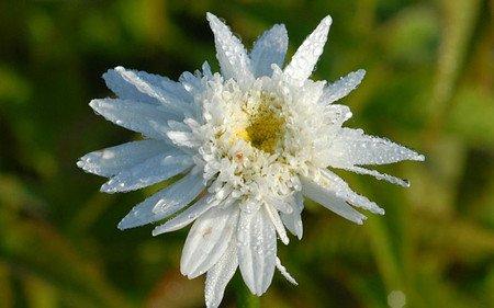 AllgäuStauden Sommer-Margerite Leucanthemum Maximum-Hybride 'Stina'