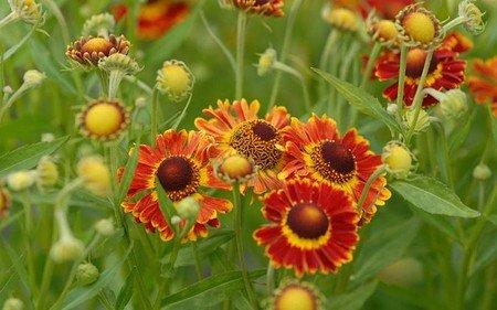 AllgäuStauden Sonnenbraut Helenium autumnale'Fuego' ®