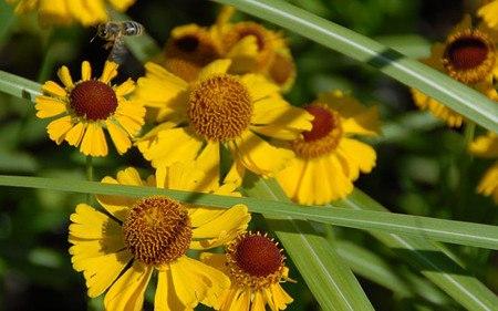AllgäuStauden Sonnenbraut Helenium Hybride 'Wesergold'
