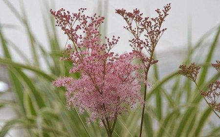 AllgäuStauden Spierstaude Filipendula rubra 'Venusta'