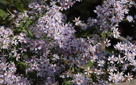 AllgäuStauden Wald-Aster Aster cordifolius 'Blütenregen'