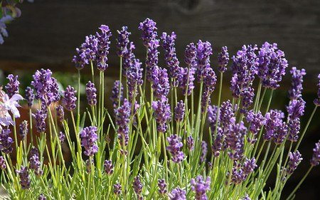AllgäuStauden Zwerg-Lavendel Lavandula angustifolia 'Peter Pan'