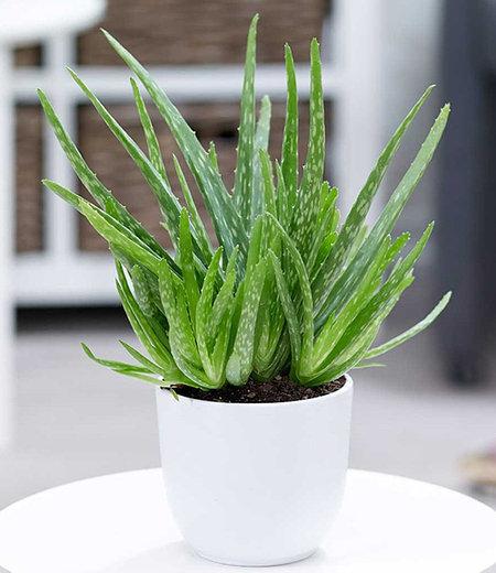Aloe Vera, 1 Pflanze