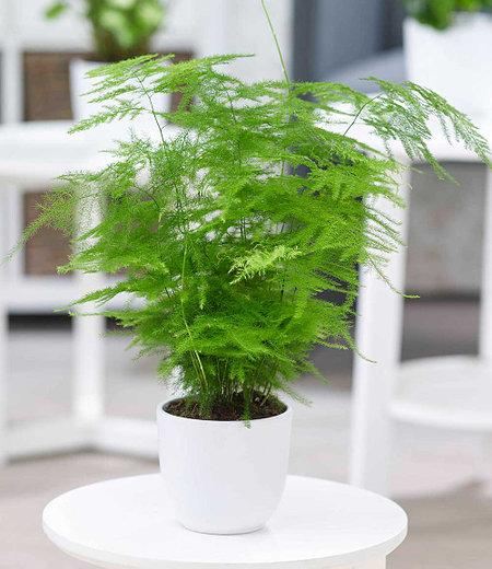 Asparagus Plumosa,1Pflanze