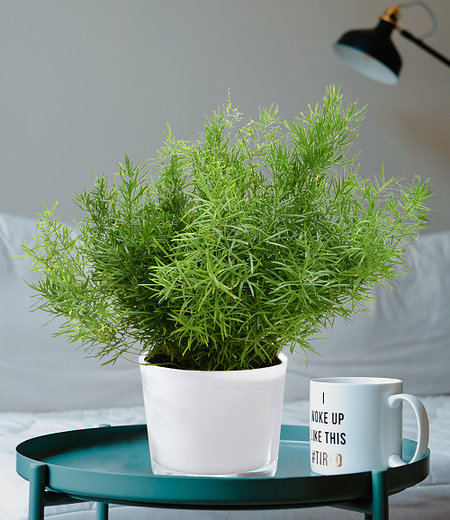 Asparagus Sprengeri,1 Pflanze