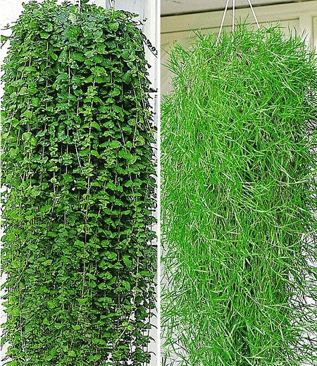 Balkon-Kollektion 4 Pfl. Indian Mint und Hängender Bambus Green Twist