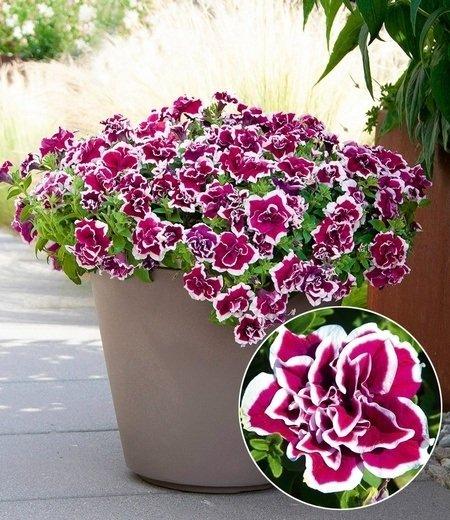 "Balkon-Petunie ""Magenta Picotée"",3 Pflanzen"