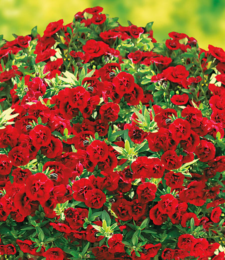 "Balkon-Zauberglöckchen ""Uno Double Red"",3 Pflanzen"