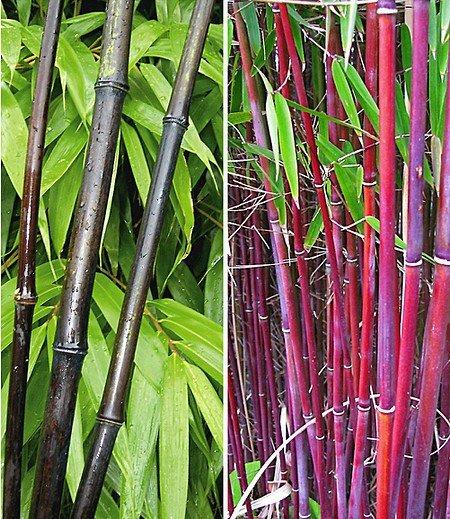 Bambus-Kollektion,2 Pflanzen
