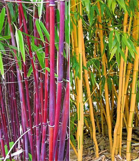 Bambus-Raritäten Kollektion,2Pflanzen