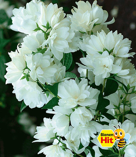 Bauern-Jasmin,1 Pflanze