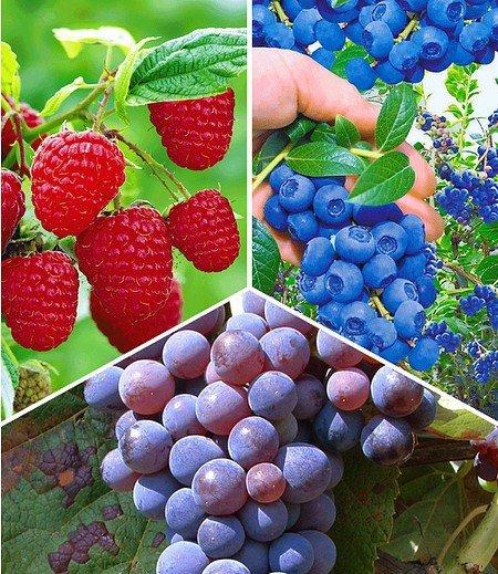 """Beeren-Sortiment """"Weintraube, Heidelbeere, Himbeere"""",3 Pflanzen"""