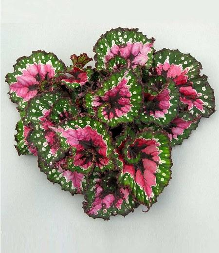 Begonie Magic ColoursMacarena®,1 Pflanze