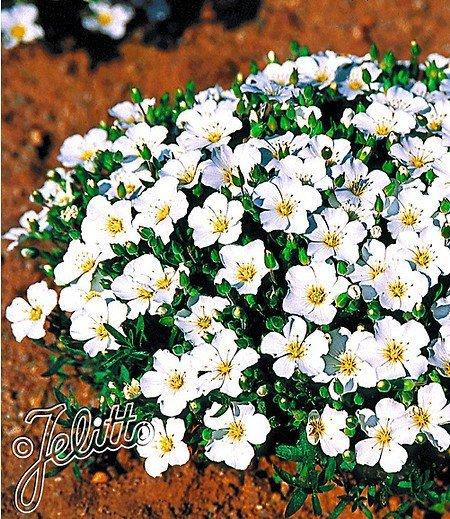 Bergsandblume,3 Pflanzen