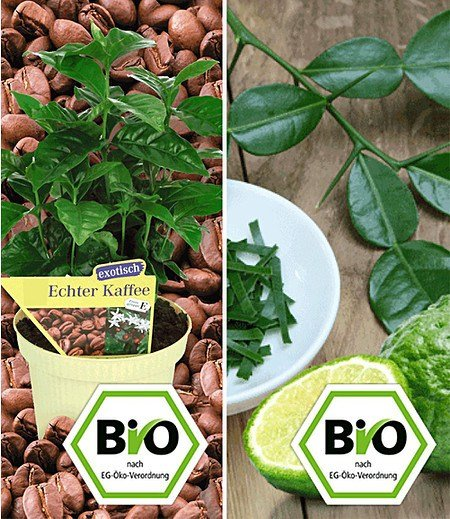BIO Echter Kaffee & Kaffir-Limette zum Vorteilspreis,2 Pflanzen
