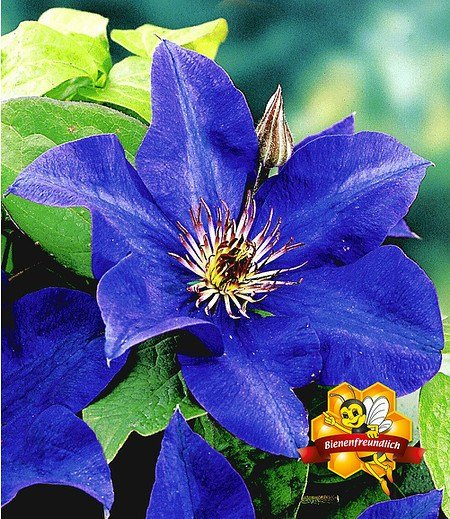 """Blaue Clematis """"The President"""",1 Pflanze"""