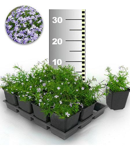 Blauer Teppich-Phlox 25 Stk.,25 Pflanzen