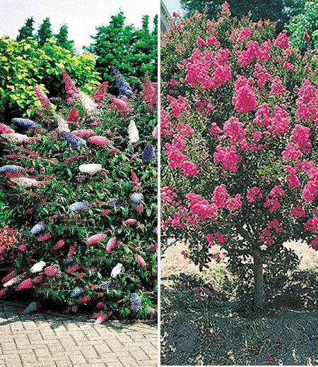 Blüten-Sträucher-Kollektion, 2 Pflanzen