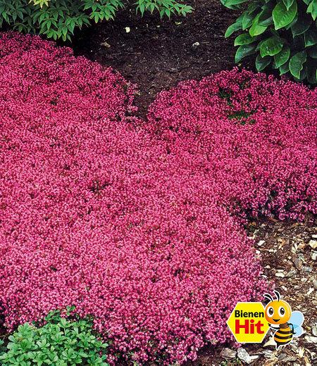 Bodendecker-Thymian, 3 Pflanzen