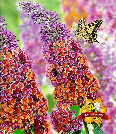 """Buddleia """"Flower-Power®"""" Groß,1 Pflanze"""