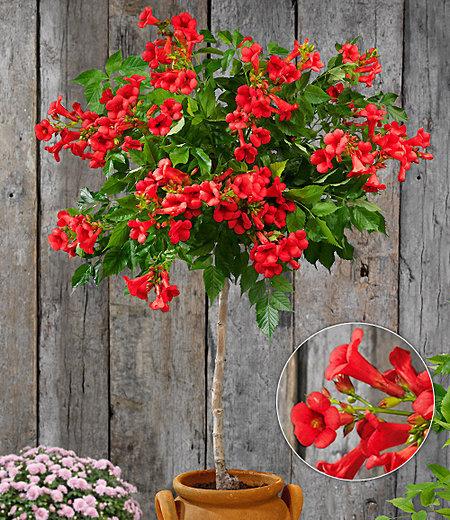 """Campsis-Stämmchen """"Fire Trumpet Vine®"""",1 Pflanze"""
