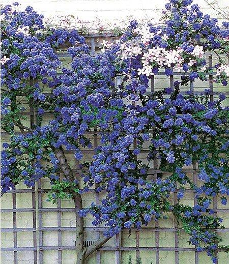 """Ceanothus """"Trewithen Blue"""",1 Pflanze"""