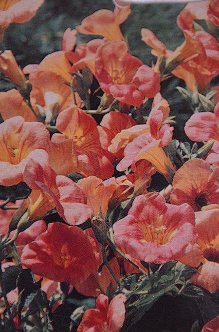 Chinesische Trompetenblume