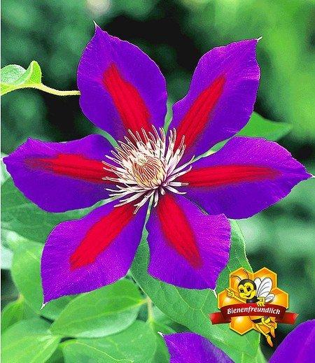 """Clematis """"Etoile de Malicorne"""",1 Pflanze"""