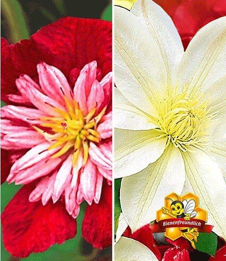Clematis-Sortiment rot und weiß zum Vorteilspreis,2 Pflanzen