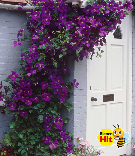 """Clematis """"The President®"""",1 Pflanze"""
