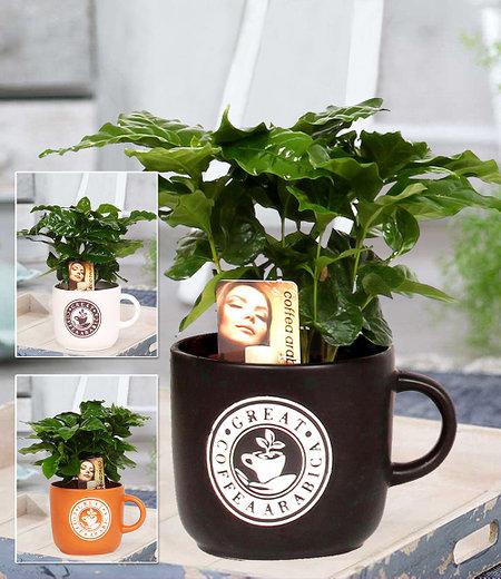 Coffea Arabica im Keramiktopf, 1 Set