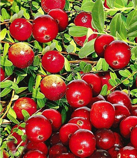Cranberry-Beere,3 Pflanzen