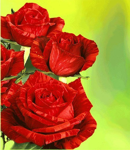 """Delbard Edel-Rose """"Red Intuition®"""",1 Pflanze"""