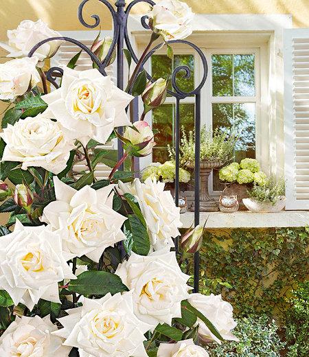 "Delbard Kletter-Rose ""Blanche Colombe®"",1 Pflanze"