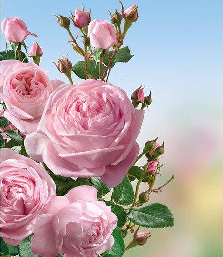 """Delbard Kletter-Rose """"Nahéma®"""",1 Pflanze"""